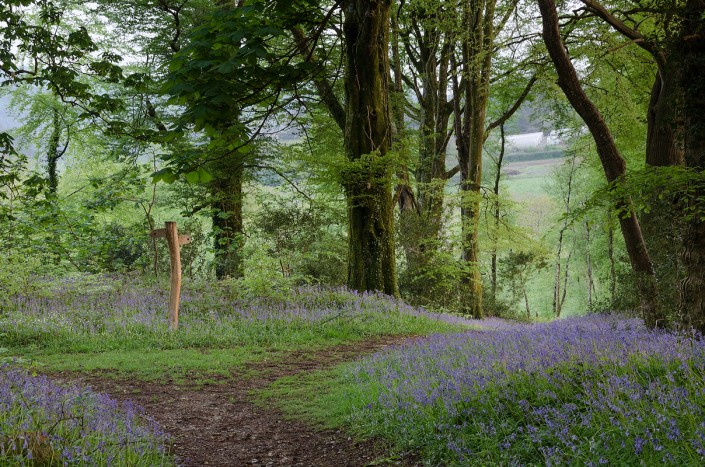 bluebells, Devon, woods, photography, National Trust