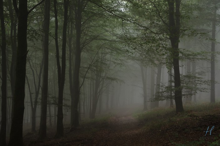 Woodland; forest; fog; mystery; trees;