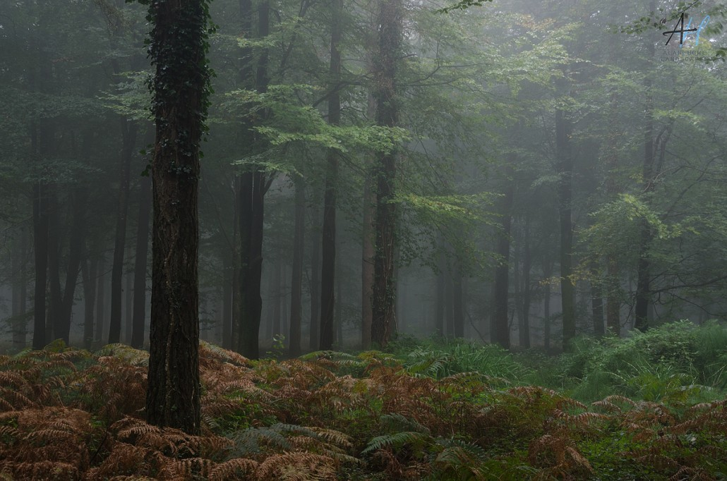 Woodland; forest; fog; mystery; trees;